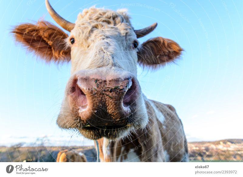 Kuh Sommer Natur Diät atmen beobachten Duft Fernsehen schauen füttern Lächeln Blick schlafen Spielen stehen leuchten authentisch nah blau cow animal farm