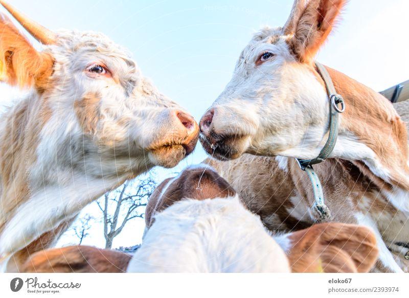 Zwei Kühe Fleisch Wurstwaren Käse Joghurt Sommer Natur verrückt cattle white cute agriculture two cow Großgrundbesitz Hintergrundbild farm face farming dairy