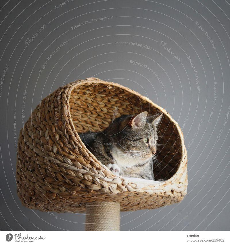 Shere Khan elegant Haustier Katze Fell 1 Tier genießen Freundlichkeit schön niedlich ruhig Korb Katzenkopf Katzenohr katzenkorb Wand grau Hauskatze Farbfoto