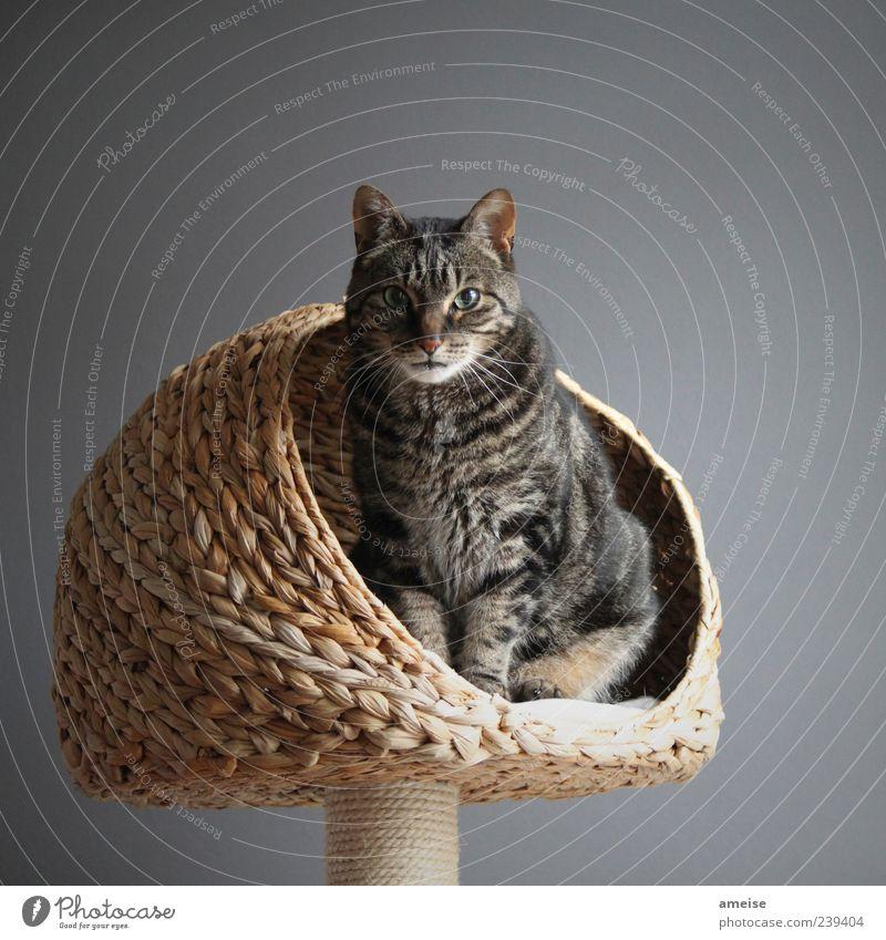 Ra Haustier Katze Fell 1 Tier bedrohlich elegant schön grau Wand Katzenauge Katzenkopf Katzenohr katzenkorb Korb Hauskatze katzenbaum Menschenleer Farbfoto