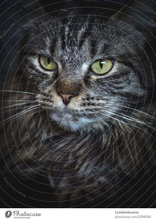 Norwegische Waldkatze Tier Haustier Wildtier Katze Tiergesicht Katzenauge Fell Fellfarbe Fellmuster Fellzeichnung Schnurrhaar Nase Katzennase Geruch Streifen