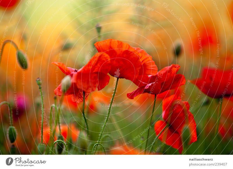 Mohnrausch Kunst Umwelt Natur Landschaft Pflanze Sonnenlicht Sommer Blüte Wildpflanze Mohnfeld Mohnblüte Wiese Feld Blühend Duft leuchten ästhetisch grün rot