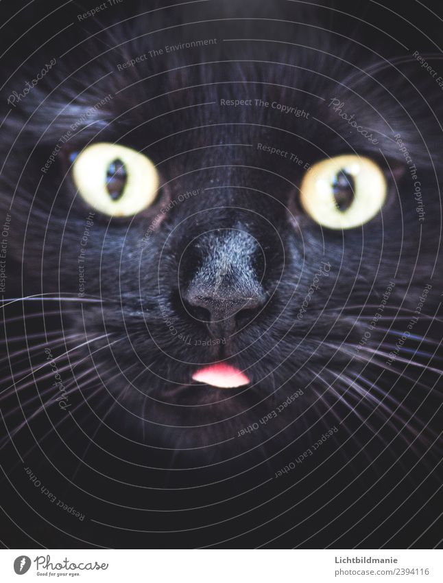 schwarze Katze steckt Zunge raus Tier Haustier Tiergesicht Fell Katzenzunge Katzennase Schnurrhaar Schnurrbarthaare Katzenauge Schnauze 1 beobachten Fressen