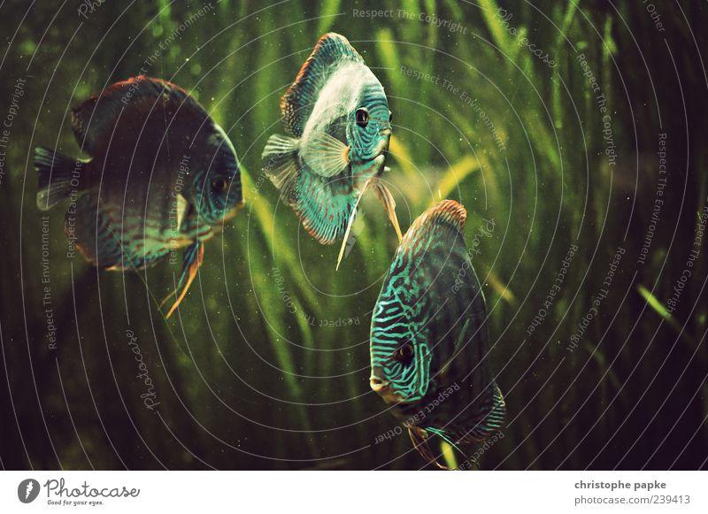 Drei Freischwimmer Tier Fisch Tiergesicht Aquarium 3 Tiergruppe Wasser Schwimmen & Baden retro schön Freiheit Zusammenhalt Farbfoto Gedeckte Farben