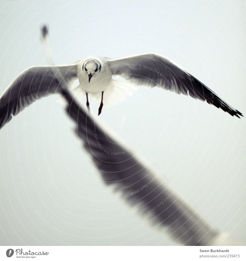 Der Traum vom Flügel - gedankenlos Himmel Natur weiß Ferien & Urlaub & Reisen Tier schwarz Umwelt Bewegung grau Luft Beine Vogel fliegen Wildtier Feder