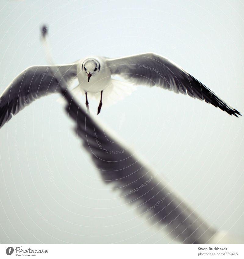 Der Traum vom Flügel - gedankenlos Umwelt Luft Himmel Wolkenloser Himmel Tier Wildtier Vogel Tiergesicht Möwe Möwenvögel 1 2 Bewegung fliegen grau schwarz weiß