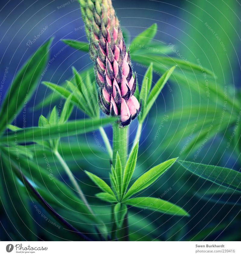 Held im Gartenfeld Natur blau grün Pflanze Sommer Blume Blatt Umwelt Blüte rosa Wachstum Blühend Duft Grünpflanze Nutzpflanze Wildpflanze