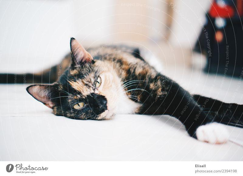 Schläfrige Kaliko-Katze Lifestyle Tier Haustier 1 Stimmung Geborgenheit bequem ignorant Erholung Kattun LAZY schlafen Müdigkeit pelzig Bartansatz dreifarbig