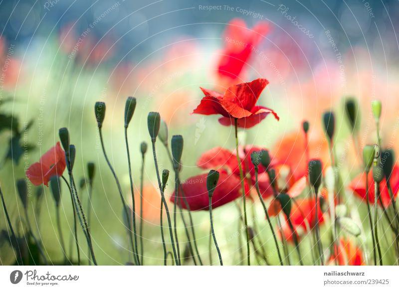 Mohntraum Sommer Natur Landschaft Pflanze Schönes Wetter Blume Blüte Wildpflanze Wiese Feld Blühend Duft träumen schön blau mehrfarbig grün rot Stimmung Glück