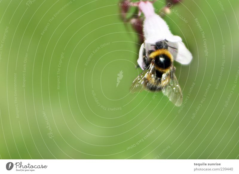 Hummel Natur weiß grün Pflanze Blume Tier Umwelt Blüte Wildtier Insekt Hummel Grünpflanze Nektar