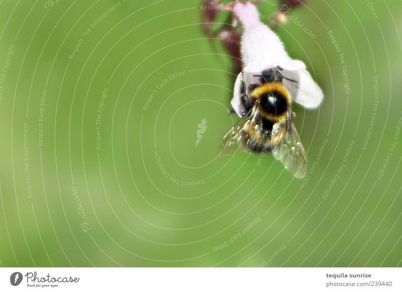 Hummel Umwelt Natur Tier Pflanze Blume Blüte Grünpflanze Wildtier Insekt grün weiß Nektar Farbfoto Außenaufnahme Nahaufnahme Detailaufnahme Makroaufnahme