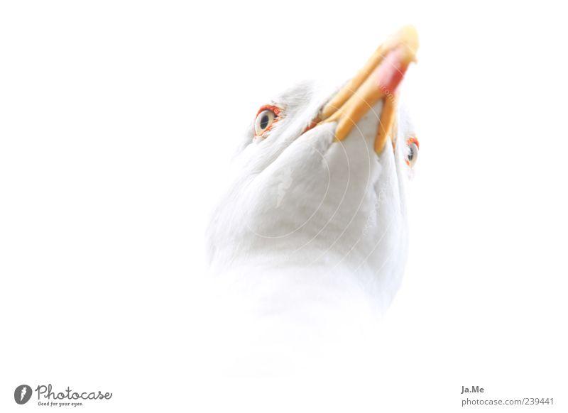Highkey-Möwe Tier Wildtier Vogel Tiergesicht 1 ästhetisch hell nah weiß Farbfoto Nahaufnahme Makroaufnahme Experiment Textfreiraum links Freisteller