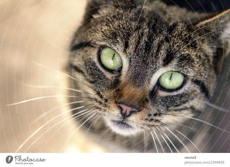 Hungrige Katze mit vorwurfsvollem Gesicht Sommer Natur Tier Haustier Tiergesicht 1 Blick warten klein natürlich schön braun Tierliebe Eifersucht Misstrauen