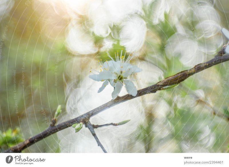 Blackthorn in sunlight Natur Hintergrundbild springen weich Schwarzdorn