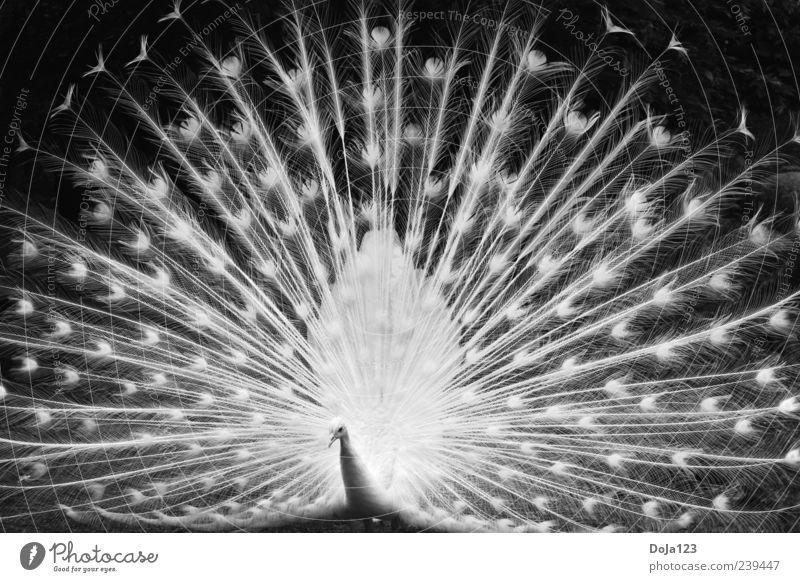 Die weiße Pracht der weißen Pfau Natur Tier Nutztier Zoo Pfauenfeder 1 ästhetisch außergewöhnlich elegant gigantisch groß hell schön natürlich schwarz Freude
