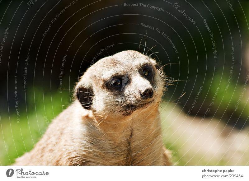 Herr Erdmann schaut Frau Erdfrau beim rückwärts Einparken zu Tier Auge Wildtier Nase niedlich Fell Tiergesicht Zoo Langeweile resignieren doof