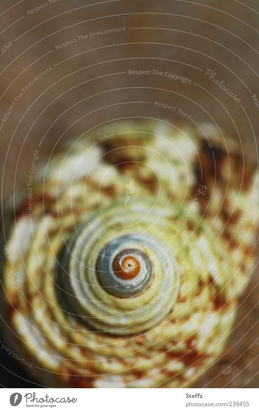 Spiralförmig Natur Ferien & Urlaub & Reisen Strand braun rund Geometrie Spirale Muschel maritim Oval regelmässig Strandgut Urlaubsstimmung Meerestier hellgrün Fundstück
