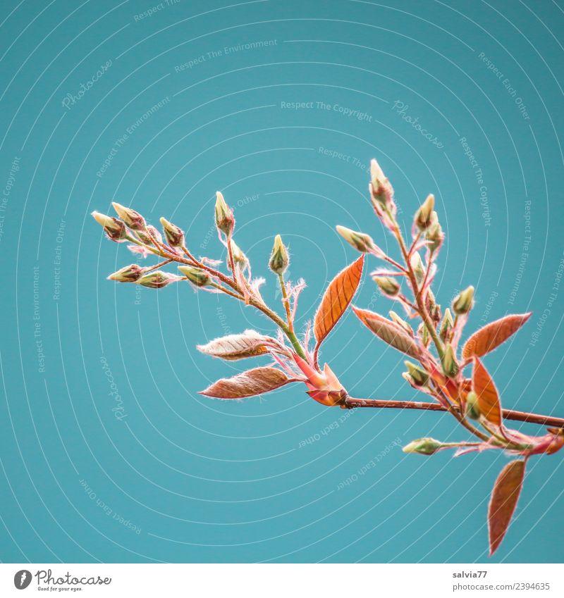 Frühlingsknospen Umwelt Natur Himmel Wolkenloser Himmel Pflanze Baum Sträucher Blatt Blütenknospen Felsenbirne Zweig Park Wachstum frisch natürlich Beginn