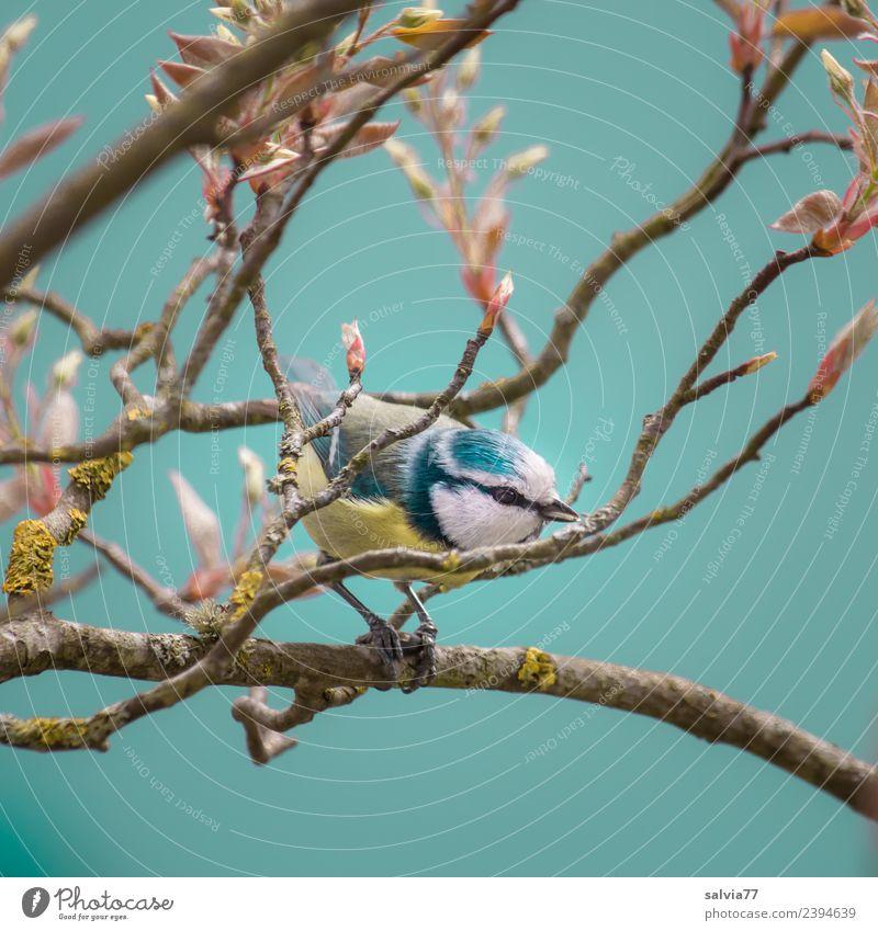 zwischen Zweigen Natur Frühling Baum Sträucher Blatt Zweige u. Äste Park Tier Vogel blau Blaumeise Meisen Ornithologie 1 klein niedlich türkis Frühlingsgefühle