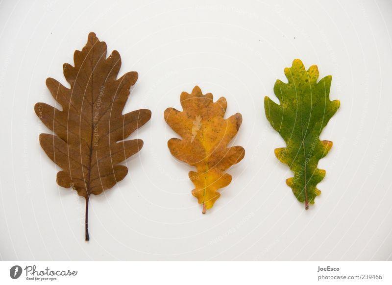 #239466 Blatt natürlich schön Natur Herbst Herbstlaub herbstlich Herbstbeginn Freisteller Botanik alt Vergänglichkeit Verfall Farbfoto Innenaufnahme