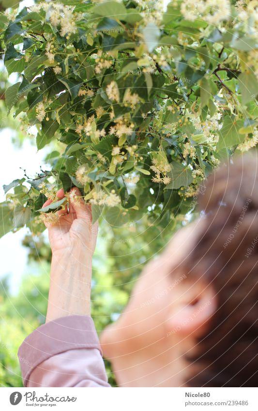 Lindenblüten Mensch Frau Hand grün Baum feminin Arme berühren Blühend genießen Weiblicher Senior Umweltschutz Grünpflanze Naturliebe