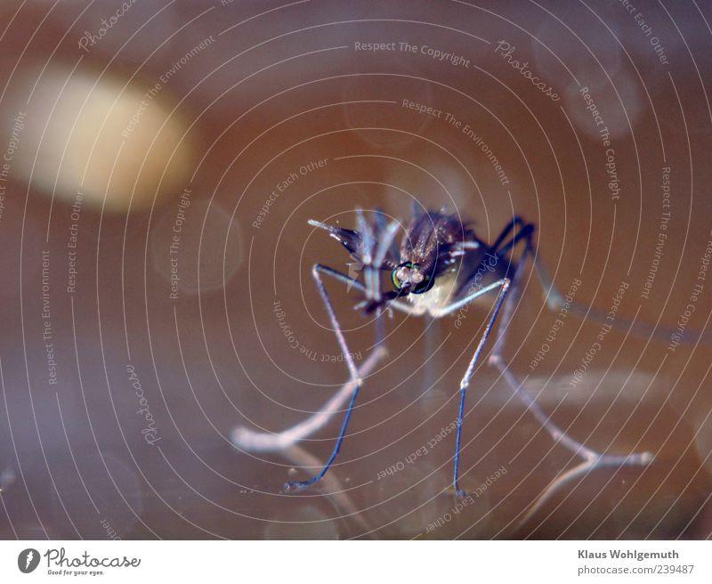 Quälgeist Umwelt Natur Tier Wasser Stechmücke 1 Blutsauger Farbfoto Makroaufnahme Menschenleer Blitzlichtaufnahme Unschärfe Schwache Tiefenschärfe