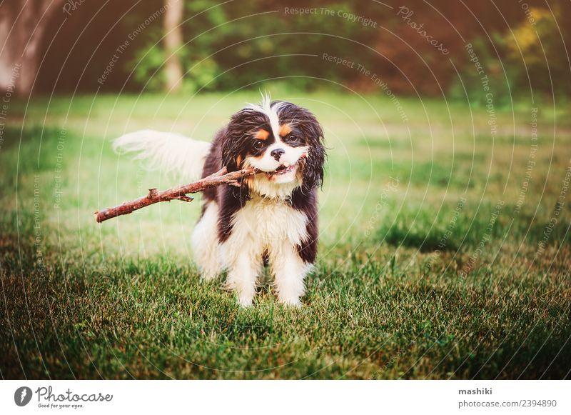 Spanischer Hund spielt mit dem Stock Spielen Sommer Freundschaft Natur Tier Gras Haustier Spielzeug lustig niedlich züchten Pflege