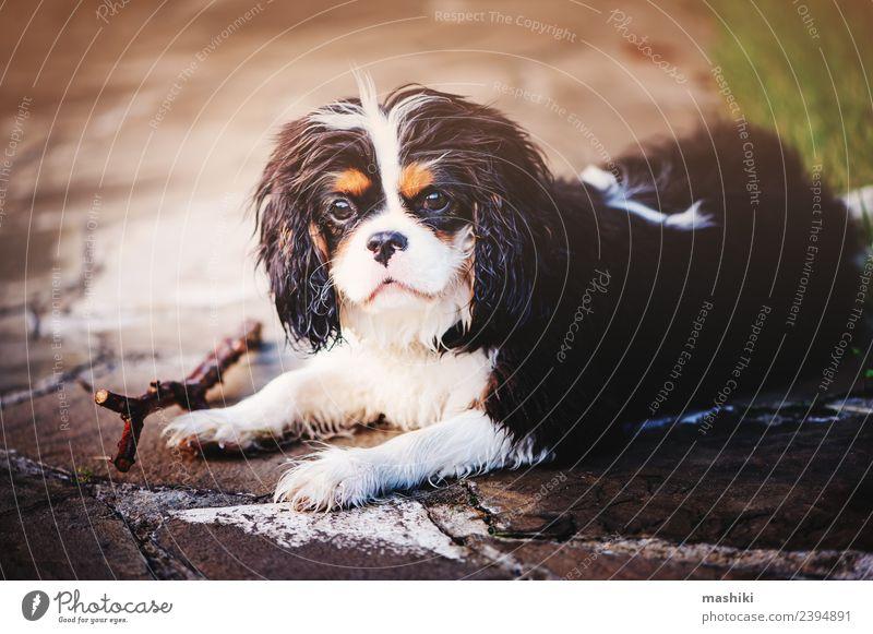 süßer Spanielhund auf Sommerspaziergang Freundschaft Natur Tier Gras Haustier Hund lustig niedlich reizvoll züchten Pflege Kavalier König Charles Spaniel