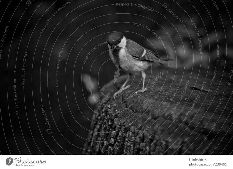 sparrow Wildtier Vogel Spatz 1 Tier Schwarzweißfoto Nahaufnahme Textfreiraum unten Starke Tiefenschärfe Blick Blick in die Kamera Ganzkörperaufnahme