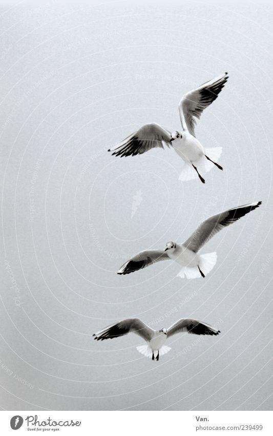 drei Möwen Natur Tier Luft Himmel Wildtier Vogel Flügel 3 Tiergruppe fliegen grau weiß Vogelflug Froschperspektive Textfreiraum oben Textfreiraum links