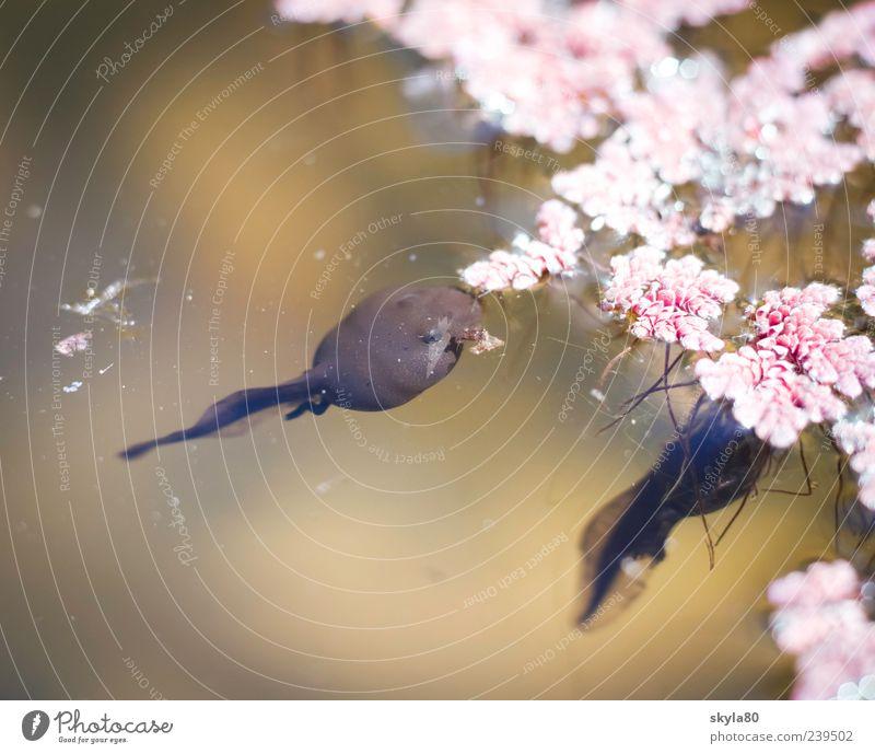 Verwandlungskünstler Kaulquappe Schwimmen & Baden Im Wasser treiben Teich Frosch Tier Amphibie Natur Blüte Menschenleer 2 Wasseroberfläche Fressen rosa braun