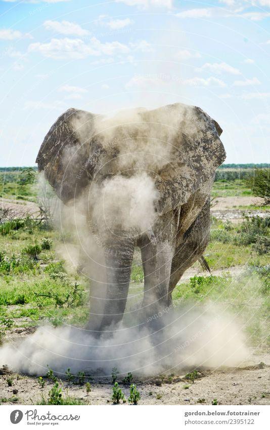 Staubwirbelnder Elefant in Namibia Abenteuer Freiheit Safari Natur Landschaft Erde 1 Tier Brunft Jagd außergewöhnlich bedrohlich fantastisch Gesundheit groß