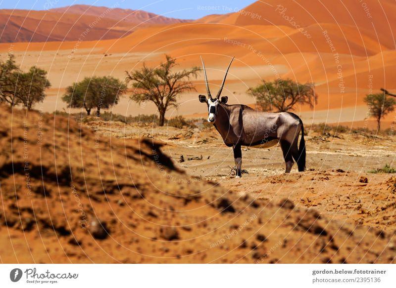 Oryx-Antilope sucht Wasser in Namibiawüste Tier schwarz braun grau Sand Zufriedenheit Wildtier Kraft warten muskulös Spießbock