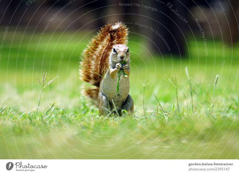 naschendes Eichhörnchen auf der Wiese Natur Sommer Schönes Wetter Gras Park Wald Menschenleer Tier Wildtier 1 Fressen genießen achtsam Wachsamkeit Lebensfreude
