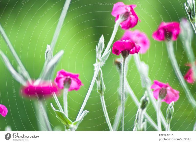 Lychnis Coronaria (Kronenlichtnelke) Umwelt Natur Pflanze Klima Blume Blatt Blüte Blühend Wachstum grün Blumenwiese Sommer Nelkengewächse Blütenblatt Farbfoto