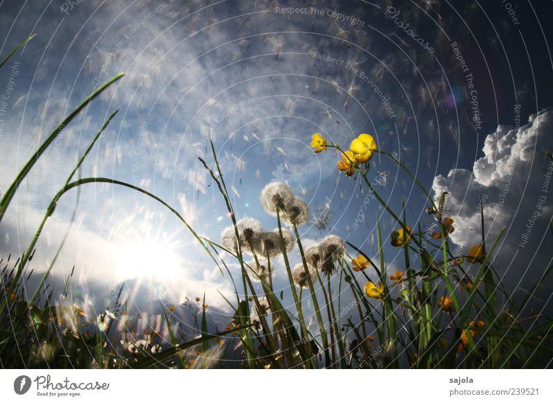 viele kleine fallschirme Umwelt Natur Pflanze Himmel Sonne Frühling Sommer Blume Hahnenfuß Löwenzahn Wiese leuchten ästhetisch blau gelb Farbfoto Außenaufnahme