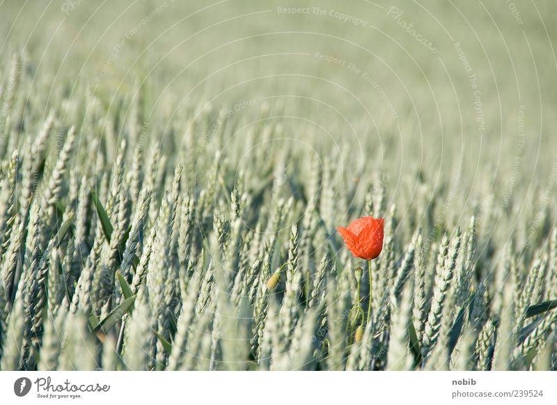 allein, allein Getreide Pflanze Sommer Blume Blüte Nutzpflanze Wildpflanze Mohnblüte ästhetisch Duft grün rot Frühlingsgefühle Leichtigkeit Natur Ferne Farbfoto