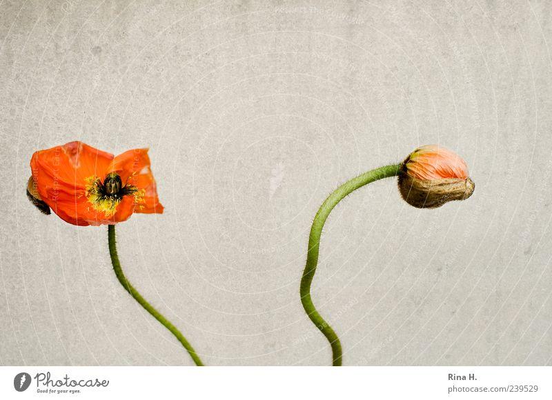 MohnZeit Blüte verblüht gelb Vergänglichkeit Farbfoto Menschenleer Textfreiraum oben Blütenknospen 2 rot Stengel Blütenblatt Vor hellem Hintergrund