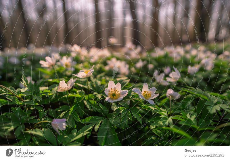 Anemonen Natur Pflanze Horizont Frühling Blume Gras Blatt Blüte Wildpflanze Wald schön natürlich braun gelb grün weiß Zufriedenheit Geborgenheit friedlich