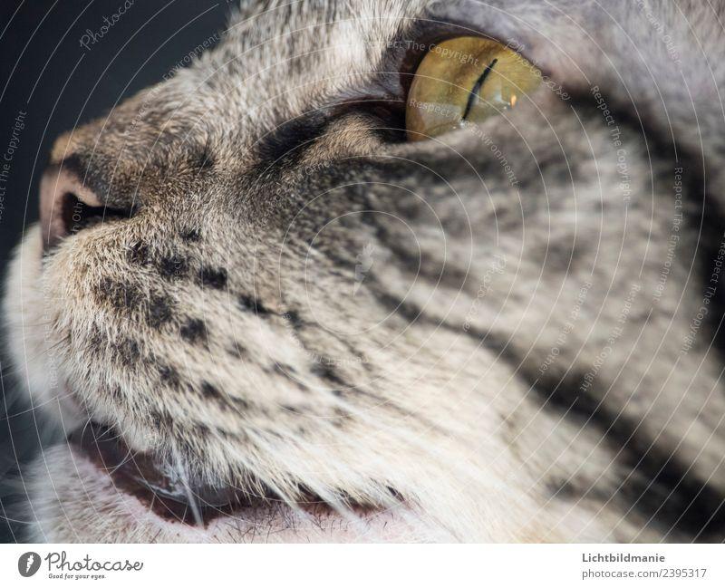 Norwegische Waldkatze Detail Fleisch Körperpflege Behandlung Spielen Jagd Wohnung Umwelt Tier Luft Haustier Katze Tiergesicht Fell Katzenauge Katzennase