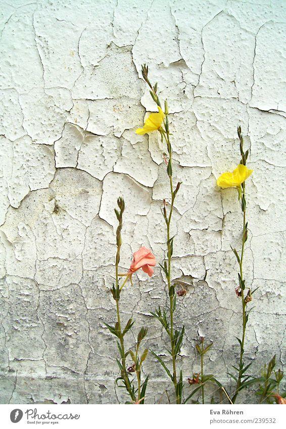 Blümchen vor bröckeliger Wand Natur alt weiß grün schön Pflanze Umwelt gelb grau Blüte Mauer hell rosa Fassade natürlich