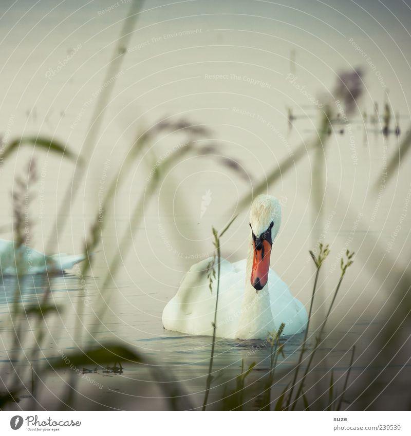 Schwan Umwelt Natur Wasser Gras Seeufer Tier Wildtier Vogel 1 beobachten ästhetisch schön Romantik Feder Schwanensee Kopf Blick Farbfoto Gedeckte Farben