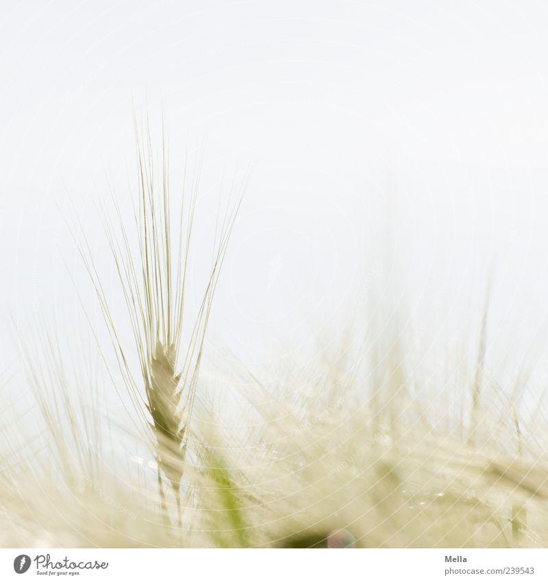 Fast Sommer Umwelt Natur Pflanze Nutzpflanze Getreide Weizen Gerste Feld Wachstum hell natürlich Landwirtschaft Kornfeld herausragen vertikal Farbfoto