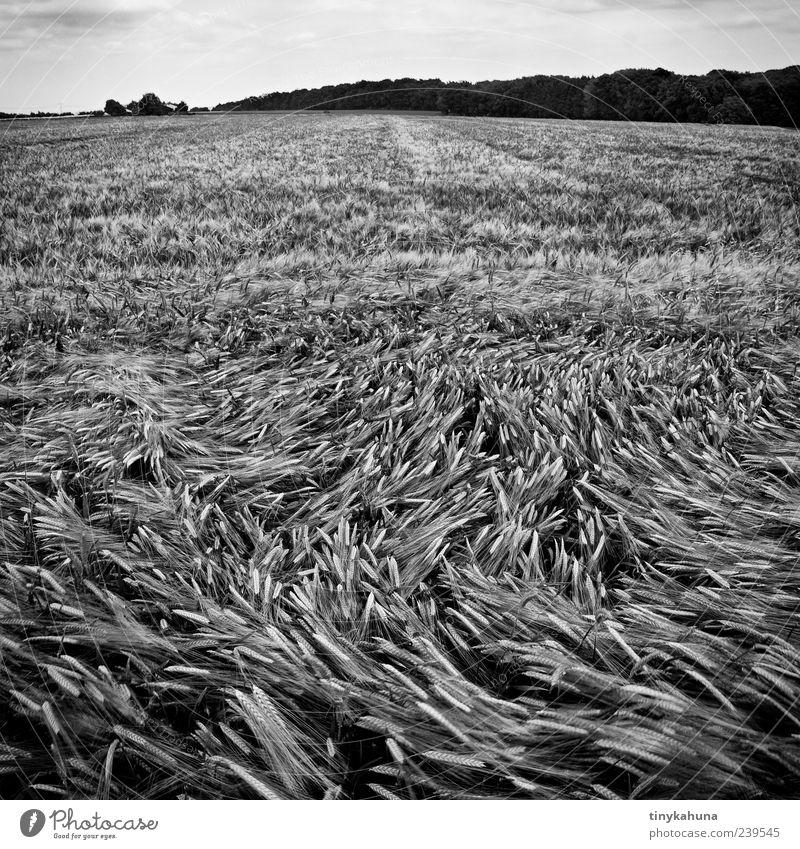 Wirbel Getreide Sommer Monokultur Landschaft Pflanze Nutzpflanze Gerste Feld Wald Gerstenfeld Bewegung Wachstum viele Schwarzweißfoto Außenaufnahme