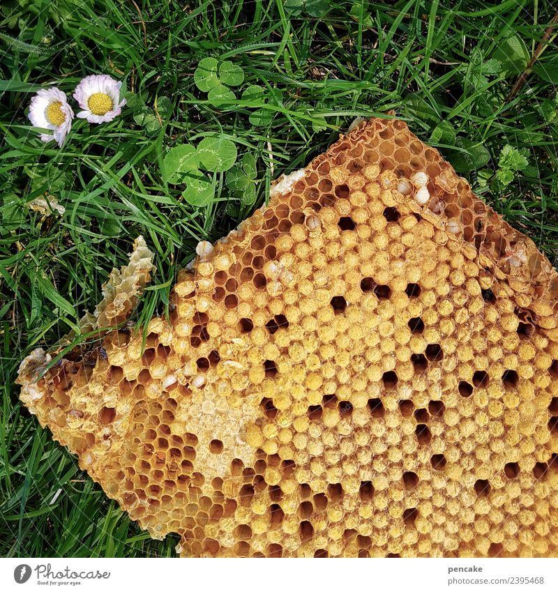 jahreszeiten   frühjahrsputz Natur Frühling Schönes Wetter Blume Gras Wiese authentisch Bienenwaben Honig Gänseblümchen 2 Klee Wachs Imkerei Drohnen Larve