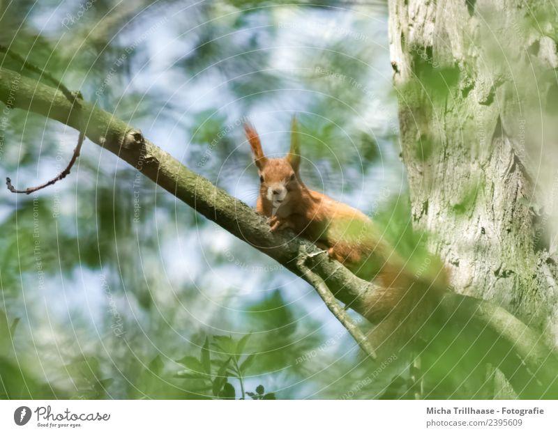 Neugieriges Eichhörnchen im Baum Himmel Natur blau grün Sonne Tier Blatt Wald gelb Umwelt Auge orange Wildtier Schönes Wetter niedlich