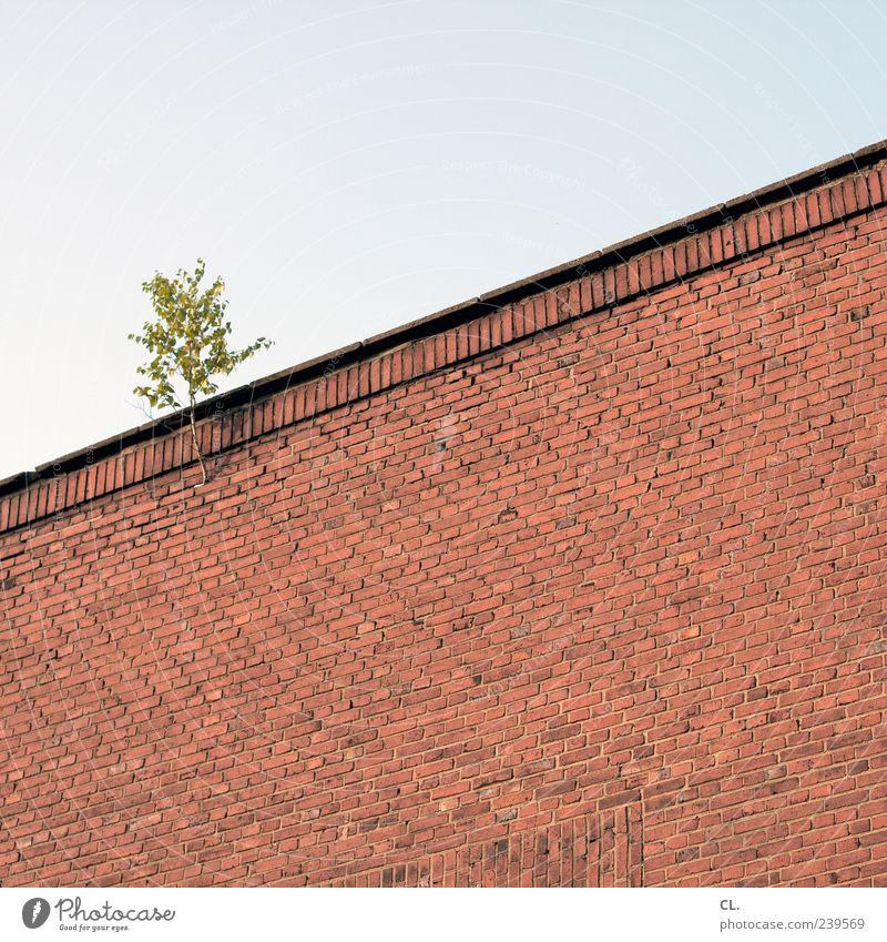 naturerlebnis Umwelt Natur Himmel Pflanze Baum Grünpflanze Wildpflanze Gebäude Mauer Wand trist Ast Zweig 1 Blatt Wachstum einzeln Backsteinwand Menschenleer