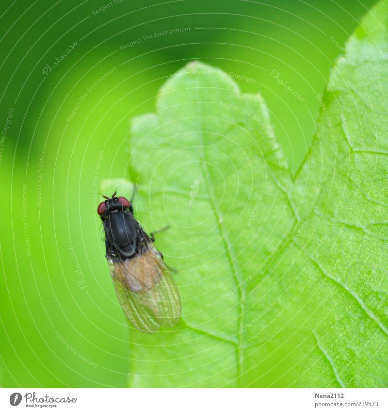 Ränder entdecken Natur Frühling Sommer Pflanze Blatt Tier Fliege 1 klein grün Insekt Blattadern Farbfoto Außenaufnahme Nahaufnahme Makroaufnahme Menschenleer
