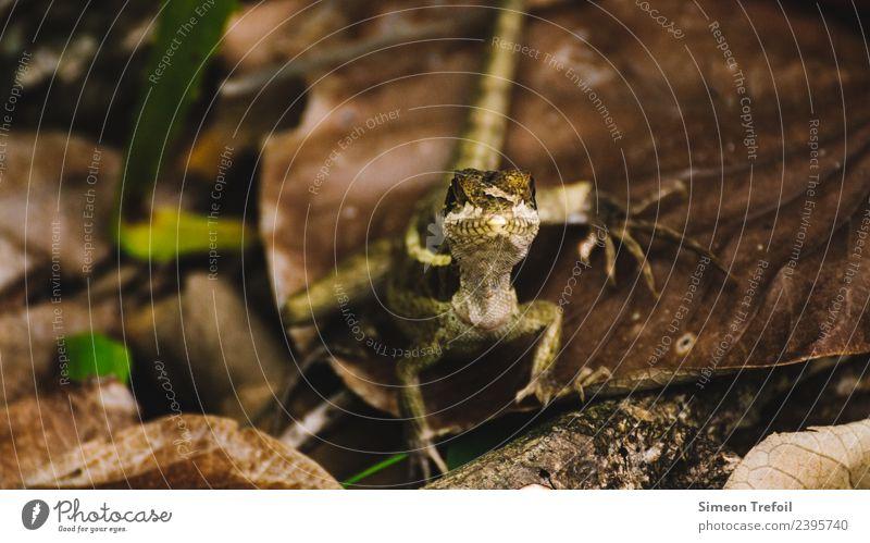 The look Erde Herbst Wald Wildtier Gecko Leguane 1 Tier beobachten bedrohlich exotisch klein niedlich Geschwindigkeit Tapferkeit Mut Wachsamkeit