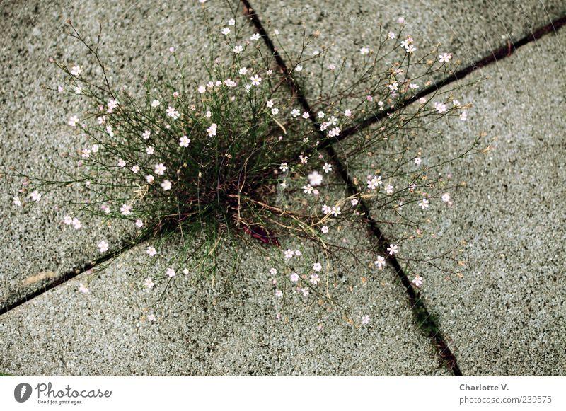 Durchsetzungsvermögen Natur grün Pflanze Blume grau klein rosa Beton authentisch Wachstum einfach zart trashig Fuge Überleben zierlich